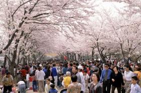 제주대학교벚꽃구경