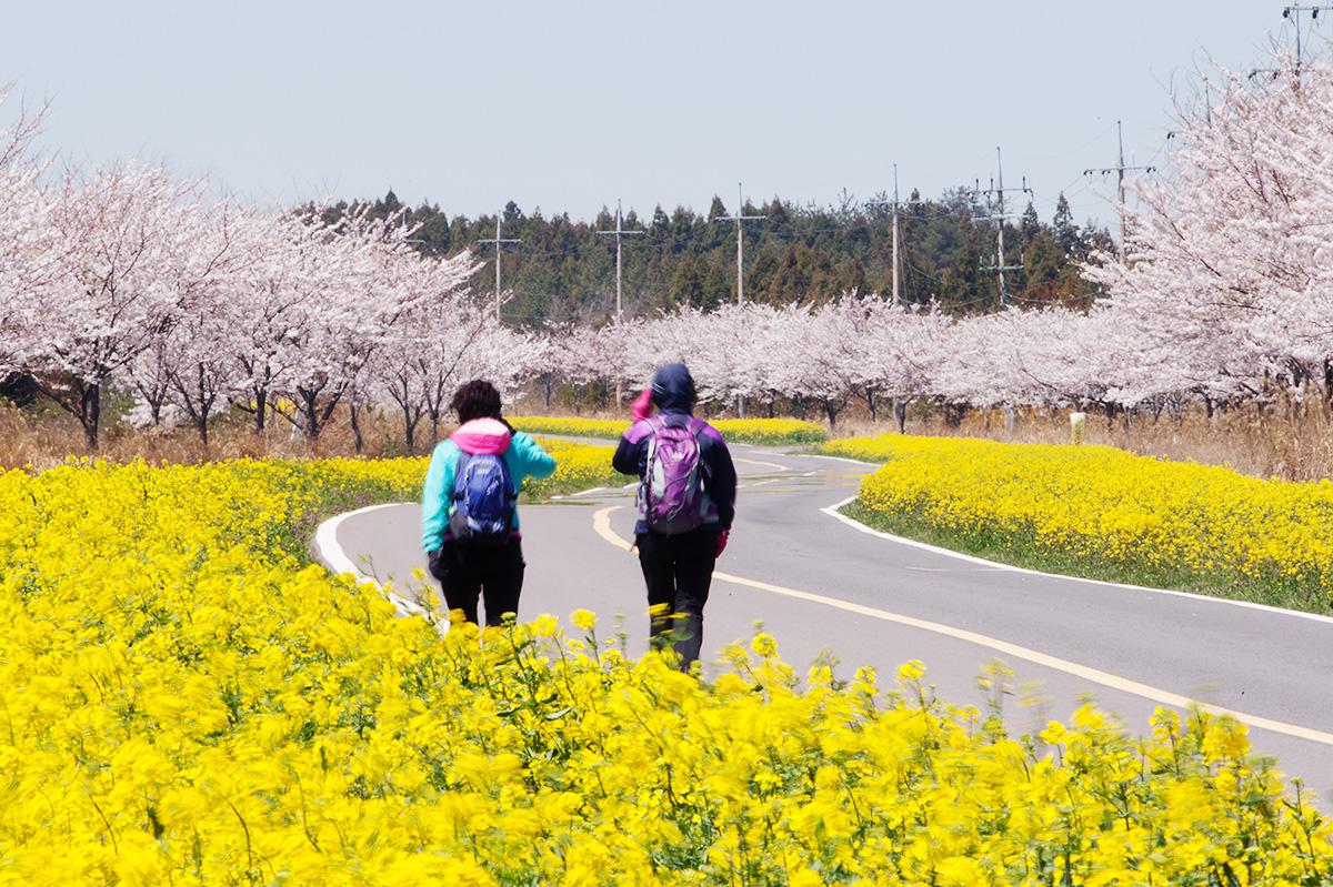 Jeju Spring Flower Journeys Get Your Bloom On Jeju Tourism