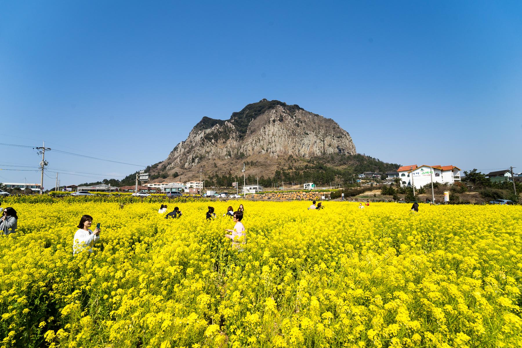 For Your Calendar 35th Jeju Canola Flower Festival Jeju Tourism